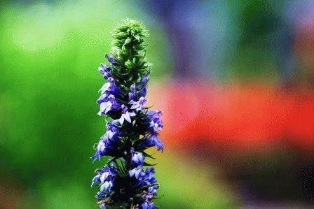 Lobelia siphilitica Лобелия синяя фото