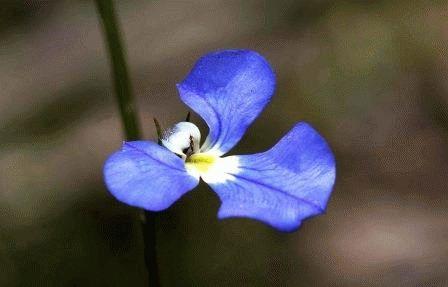 Lobelia tenuior Лобелия тончайшая фото