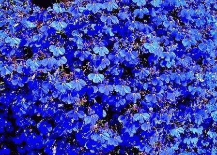 Лобелия описание цветка фото