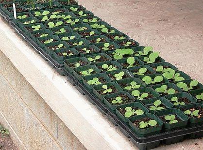 как вырастить газанию из семян в домашних условиях