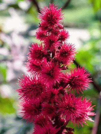 клещевина фото как цветет