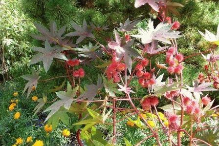 клещевина фото в саду