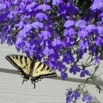 лобелия фото цветка