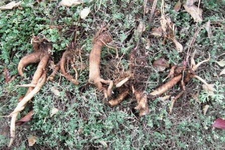 деление пионов фото корни
