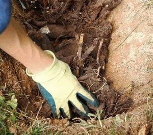 как правильно посадить пион весной фото