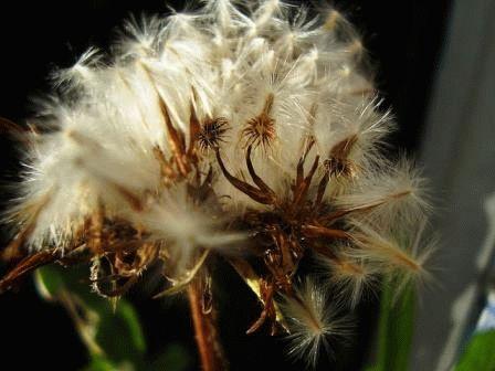 как вырастить газанию из семян