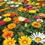 газания выращивание и уход