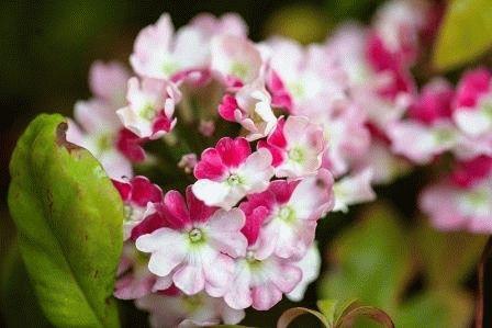 verbena Pink Pafait