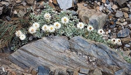 Anaphalis  nepalensis Анафалис непальский фото