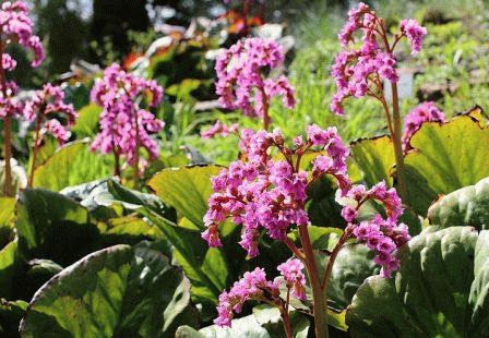 Bergenia crassifolia Бадан толстолистный фото