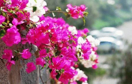 Bougainvillea peruviana Бугенвиллия перуанская фото