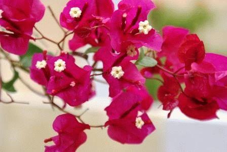 Bougainvillea spectabilis Бугенвиллия прекрасная фото