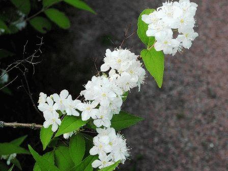 Deutzia amurensis Дейция Амурская