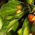 Euonymus japonica Бересклет японский фото