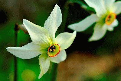 Narcissus poeticus ПОЭТИЧЕСКИЕ нарциссы фото