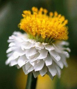 цветок аммобиум