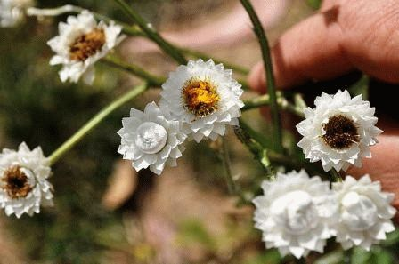 аммобиум крылатый выращивание фото