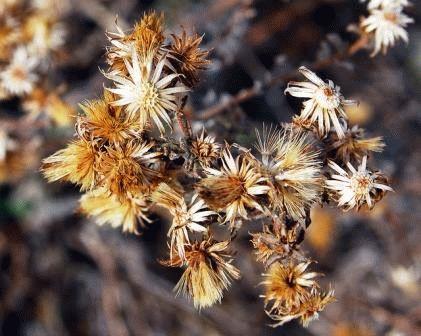 анафалис семенами фото