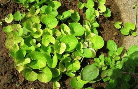 выращивание бакопы фото