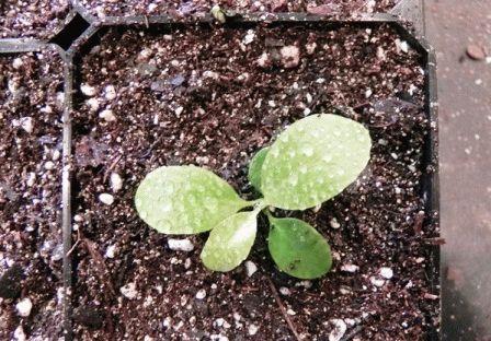 бадан выращивание и уход