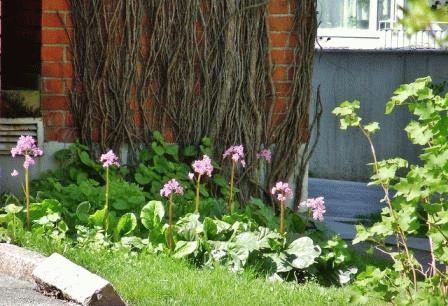 цветок бадан уход фото