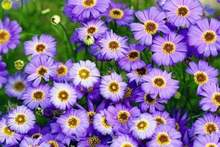 цветы брахикома выращивание