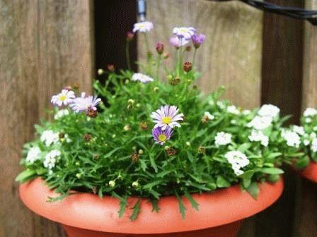 брахикома фото цветы