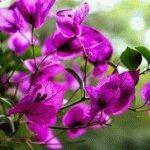 цветущая бугенвиллия фото