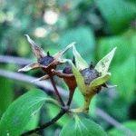 чубушник жасмин размножение семенами фото