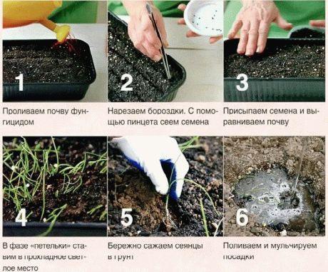 лук как сажать семена фото