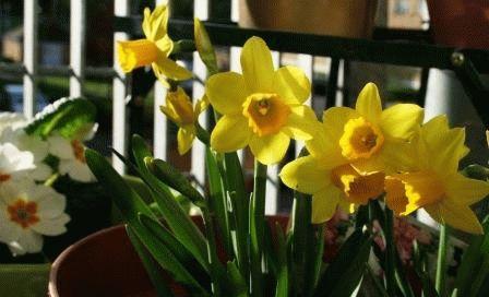 посадка нарциссов весной в грунт