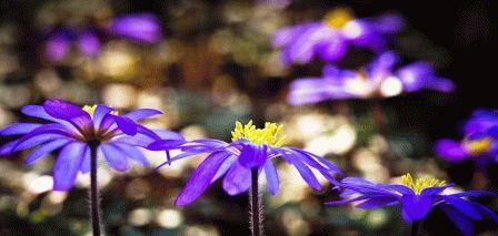 Anemona blanda Анемона нежная фото
