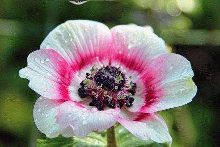 Anemone coronaria Анемона корончатая фото