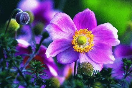 Anemone japonica Анемона японская фото