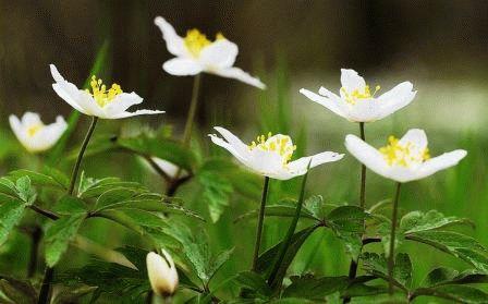 Anemone nemorosa Анемона дубравная фото