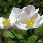 Anemone sylvestris Анемона лесная фото
