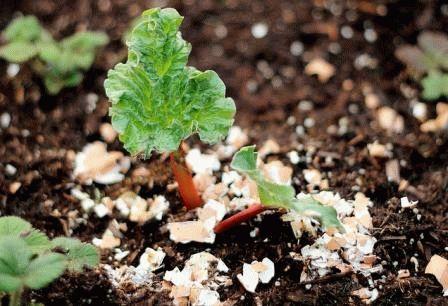 яичная скорлупа для растений фото