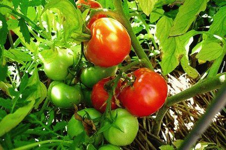 Подкормки томатов фото