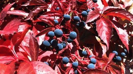 Parthenocissus quinquefolia девичий виноград пятилисточковый фото