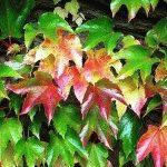 девичий виноград растение фото