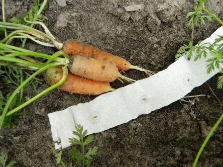 Для размещения семян моркови на бумаге