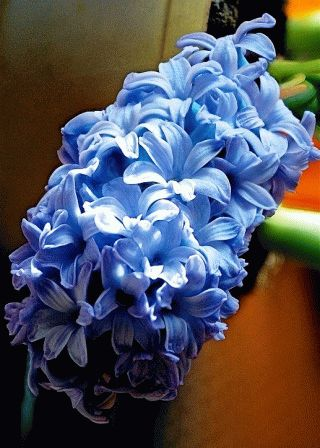 Hyacinth Delft Blue гиацинт сорт