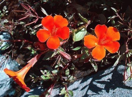 Mimulus cupreus Мимулюс красный