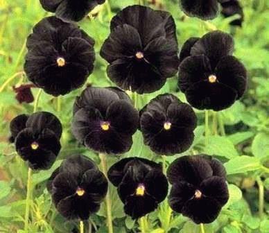 черные анютины глазки фото