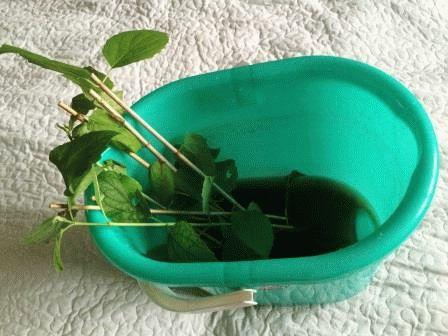 как размножить чубушник черенками