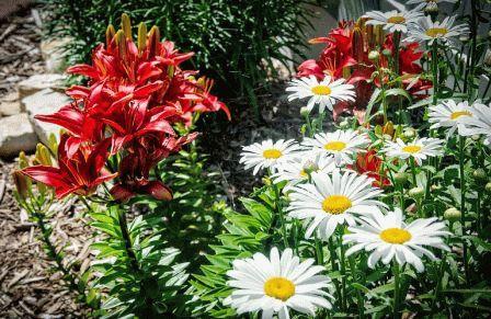 лилии в ландшафтном дизайне сада фото
