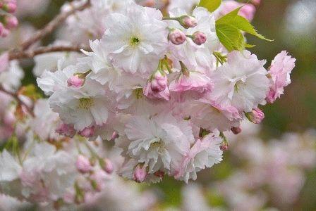 пастельный сад яблоня фото