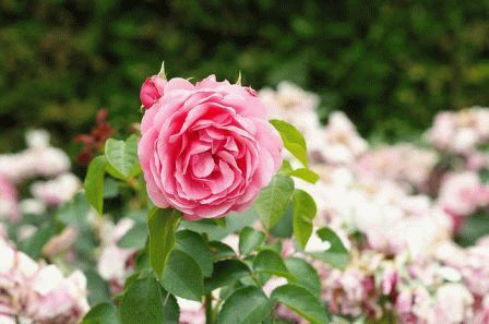 Сад в пастельных тонах роза фото