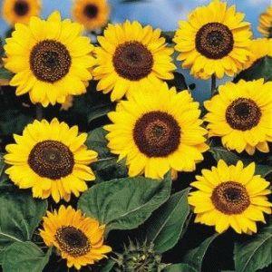 Prado Yellow Подсолнечник