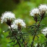Багульник: выращивание в саду, виды и сорта растения